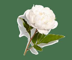 Peônia Branca